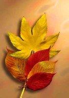 leaves, leaf,canadian leaves